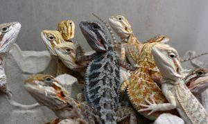 alimentacion baby dragón barbudo
