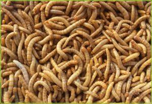 ¿que insecto comen las pogonas?
