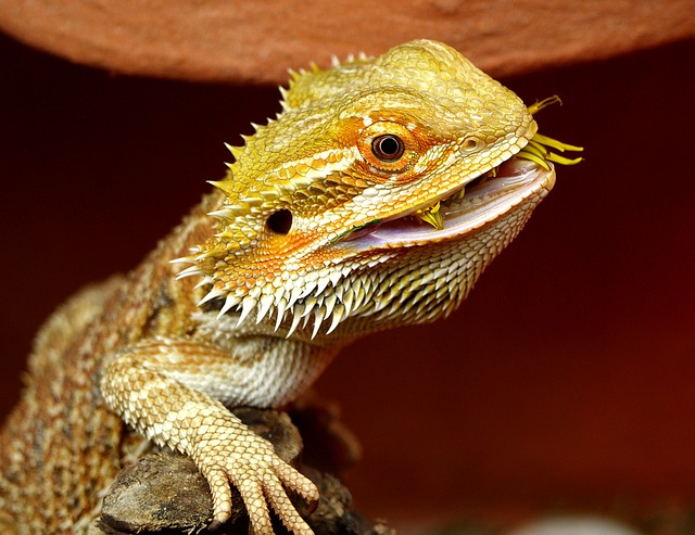 alimentacion dragon barbudo