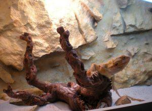 terrario dragon barbudo madera