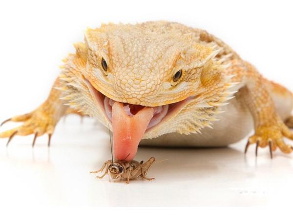 Alimentación Dragón Barbudo 🦎 | Web Especializada en la Pogona Vitticeps