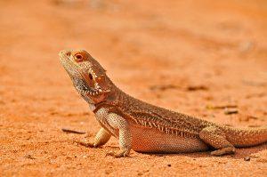 dragon barbudo al sol