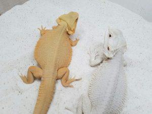 Reproducción en pogona