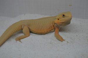 witblits hypotrans dragon barbudo