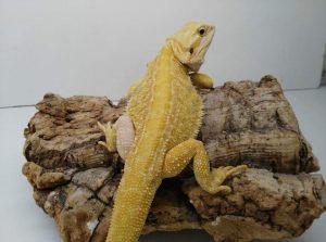 Dunner citrus barbudo