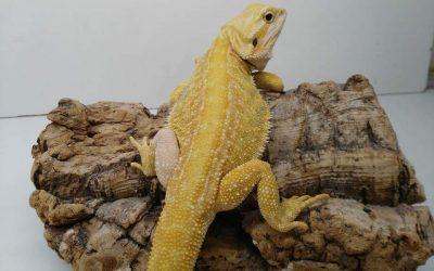 Tipos de Pogonas Vitticeps ? / Fases / Morfologia / Mutaciones