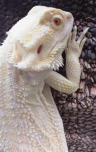 pogona albina