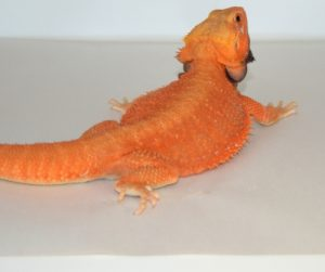 Bearded Dragon naranja