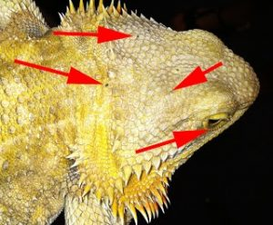 acaros Dragón barbudo