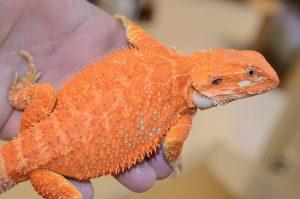 bearded dragon orange naranja pogona