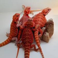 bearded dragon red