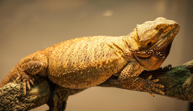 german giant tipos dragones barbudos