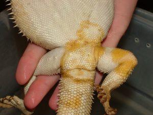 hongo amarillo dragon barbudo enfermedad