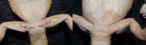 pogona vitticeps macho hembra