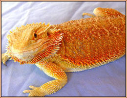 red gold dragon