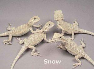 pogona snow