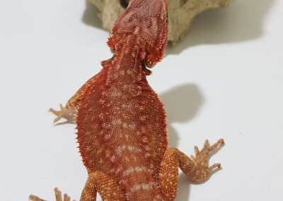 N.1 ♂️ Dunner Hypo partial trans lb Pic2