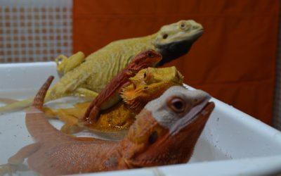 Cuidados de Pogona Vitticep o Dragón barbudo