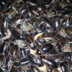 Blaptica dubia | ?CRIA Y REPRODUCCION de Cucaracha argentina ?