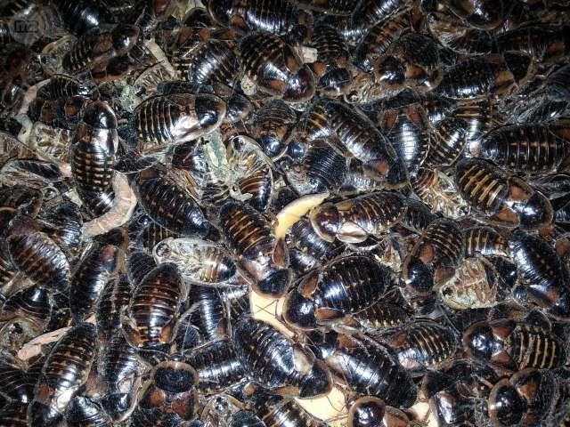 Blaptica dubia   ?CRIA Y REPRODUCCION de Cucaracha argentina ?