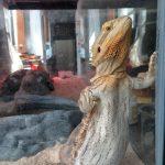 """🦎🕺 ¿Qué es """"Glass Surfing"""" para un dragón barbudo?💃🏻🦎"""