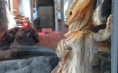 🦎🕺 ¿Qué es «Glass Surfing» para un dragón barbudo?💃🏻🦎