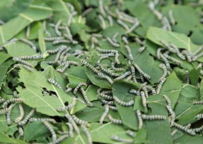 Gusano de seda comiendo hojas morera en temporada