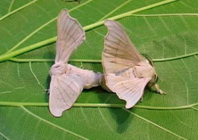 Palomilla Gusano de seda
