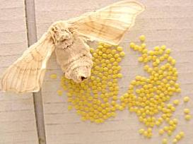 Huevos Gusano de seda