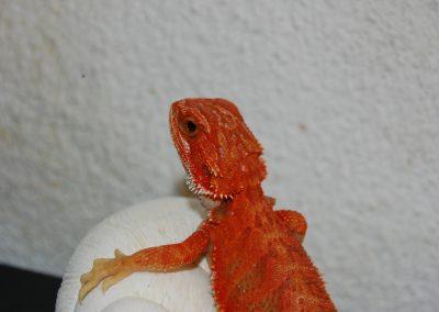 Cría roja hipo trans