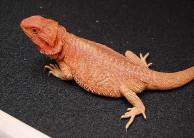 DIANA, una de nuestras reproductoras rojas