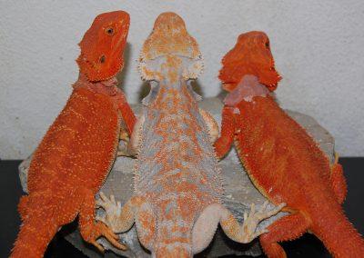Hembras rojas y macho paradox en el centro, futuros reproductores (2)