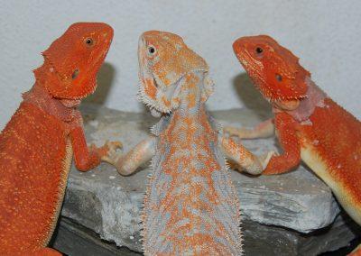 Hembras rojas y macho paradox en el centro, futuros reproductores