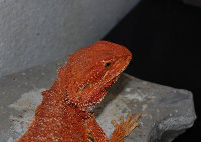 Hija de DORITO con la cabeza roja, futura reproductora