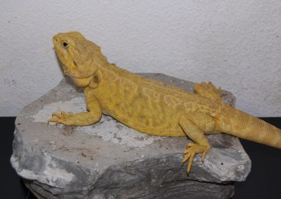 MARILYN hembra citrus hipo trans leatherback, madre de las genetic striped que criamos
