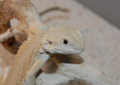 NARIA de pequeña, una de nuestras witblits reproductoras con un ojo mitad normal y mitad negro