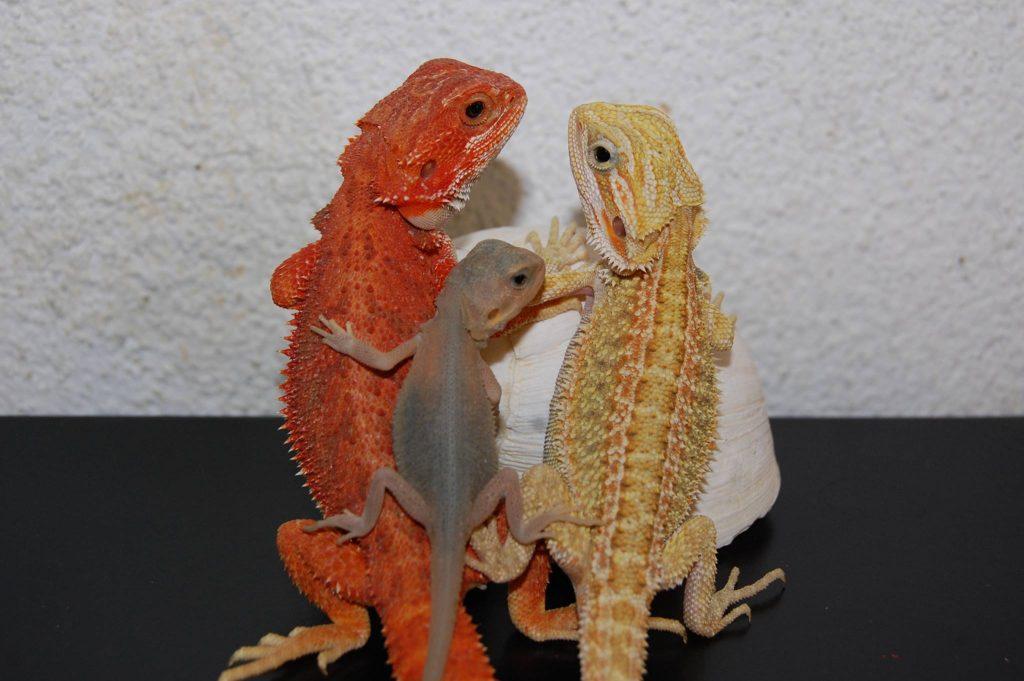 Dragones barbudos en Hamm